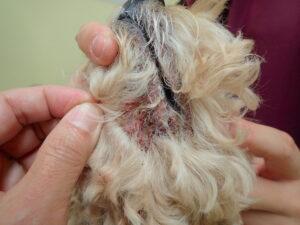 犬,皮膚病