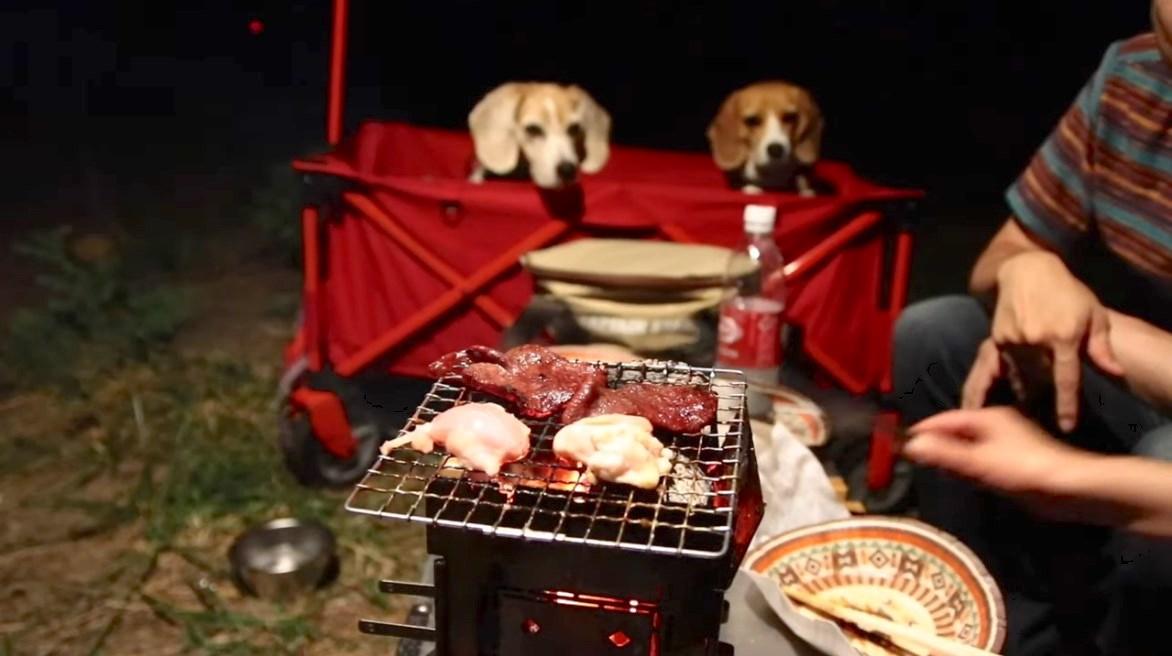 シニア犬,キャンプ
