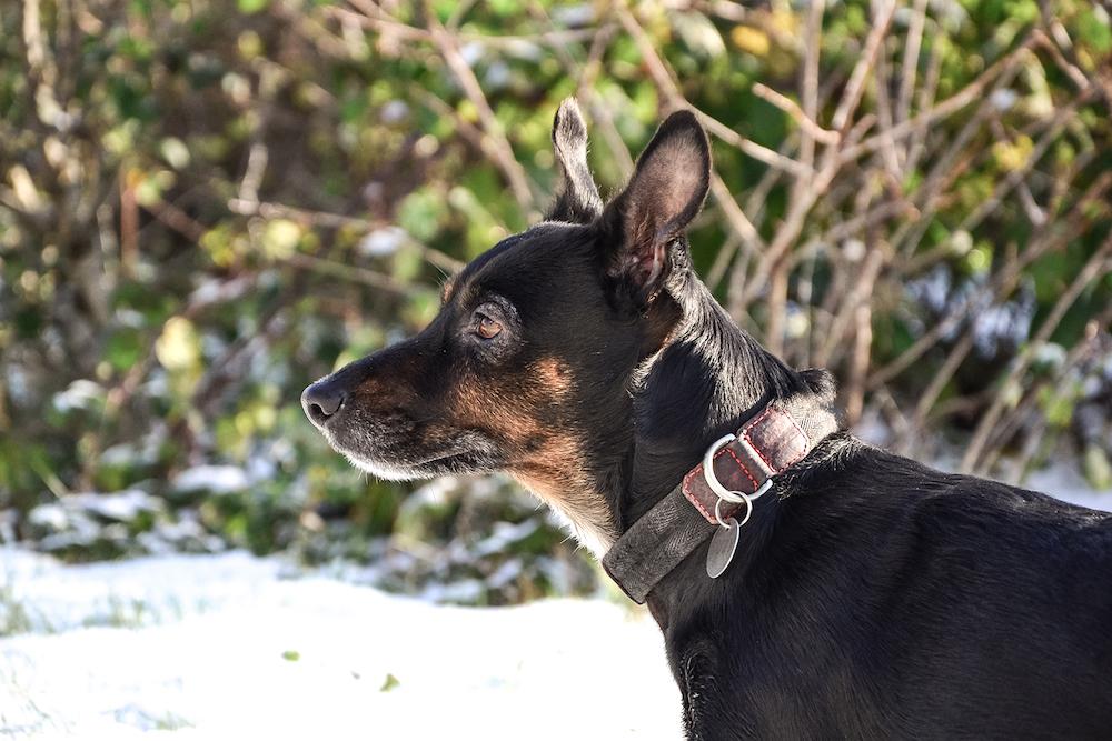 【首輪とハーネスどっちがイイ?】犬種や性格によって使い分けるのが正解!