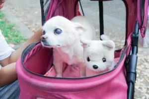 シニア犬,チワワ
