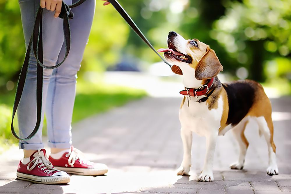 犬,首輪,ハーネス