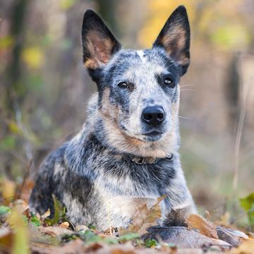【29歳まで生きた犬】ギネスに載った長寿犬「ブルーイー」に学ぶ長生きの秘訣とは